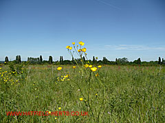Buttercups in the field at the top of the hill at New Barnfield