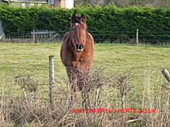 Brown horse looks over fence